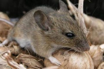 Tại sao chuột thường xuyên gặm nhấm