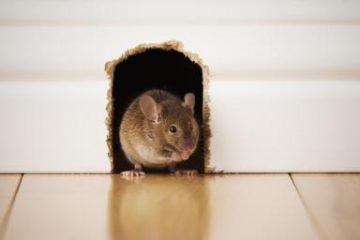 Mẹo xử lý mùi chuột chết trong nhà hiệu quả