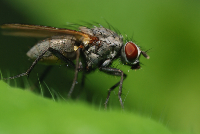 Fly manoeuvre How are flies able to change their flying direction quickly