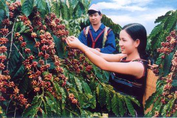 Bí quyết diệt côn trùng cho vườn cà phê