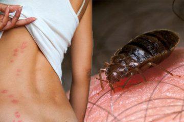 Rệp giường là loài gì?