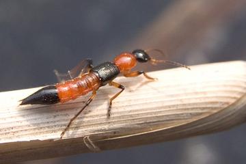 Kinh hãi độc tố kiến ba khoang mạnh gấp 12 – 15 lần nọc rắn hổ mang