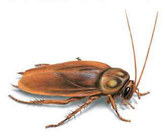 loai gian my american cockroach