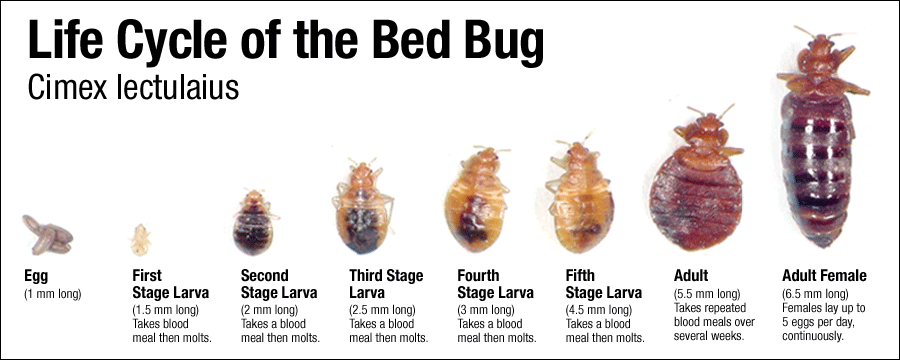 bedbugs_lifecycle