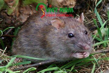 Dịch vụ diệt chuột ở Cần Thơ