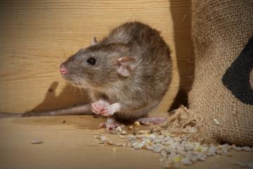 Công ty diệt chuột tại tphcm