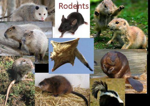 Dịch vụ diệt chuột tại TPHCM